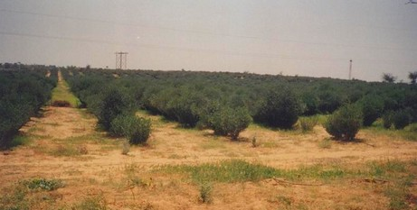 Jojoba plantation, Fatehpur, India
