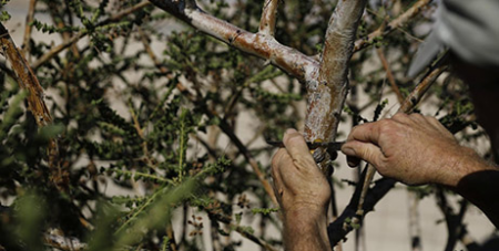 Frankincense resin is tapped from a tree on a kibbutz in Israel (CNS/Ronen Zvulun, Reuters)